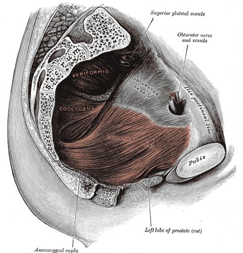 Der Beckenbodenmuskel (Wikipedia.de)